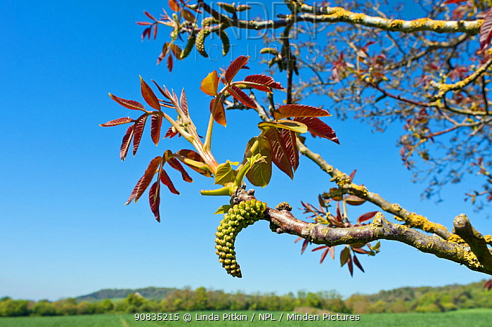 Walnut (Juglans regia), catkins and young foliage, at edge of field, Surrey, England, May.