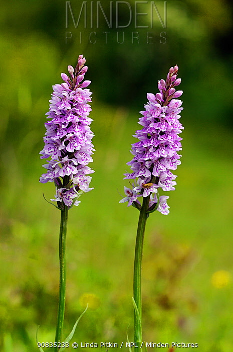 Common spotted-orchid (Dactylorhiza fuchsii) Fraser Down SWT Nature Reserve, Surrey, England, June.