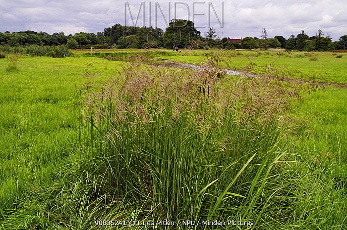 Tufted hair-grass (Deschampsia cespitosa) Surrey, England, June.