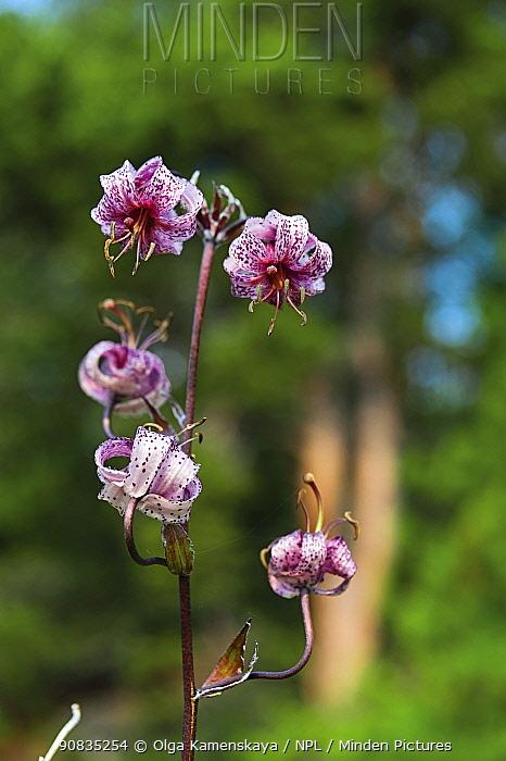 Turk's cap lily (Lilium martagon pilosiusculum) Lake Baikal, Siberia, Russia.