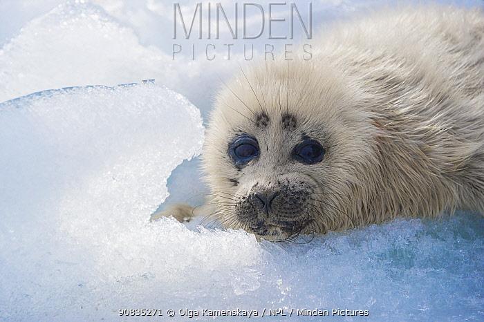 Baikal seal (Pusa sibirica) pup on ice, endemic species. Lake Baikal, Russia, April.
