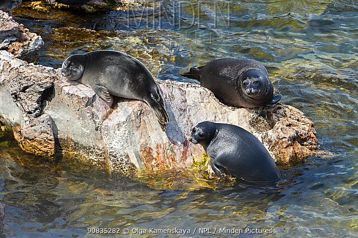 Baikal seals (Pusa sibirica) hauled out on lake shore, Lake Baikal, Siberia, Russia. June.
