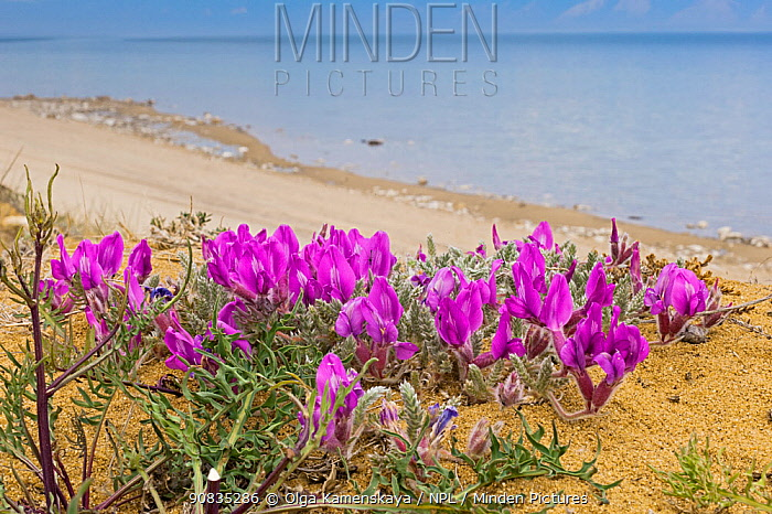 Locoweed (Oxytropis lanata) flowers on lake shore, Olkhon island, Lake Baikal, Siberia, Russia. June.