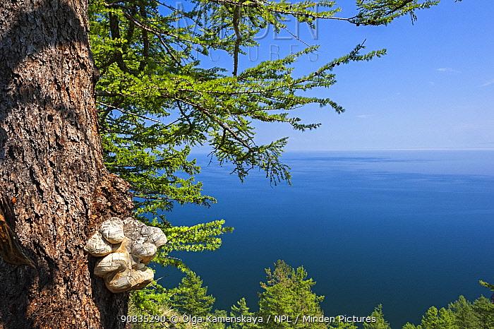 Tree with bracket fungus growing and landscape of Lake Baikal from Cape Khoboy, Olkhon Island, Lake Baikal, Siberia, Russia. June.