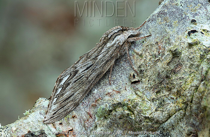 Canadian sphinx (Sphinx canadensis) camouflaged on tree bark, Lac-Drolet Province, Quebec, Canada, April.