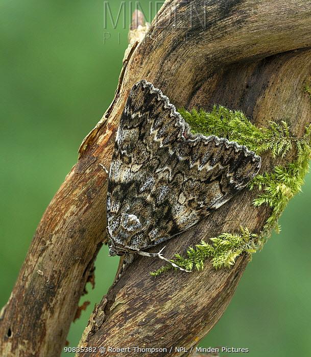 Light crimson underwing moth (Catocala promissa) Malacky, western Slovakia,