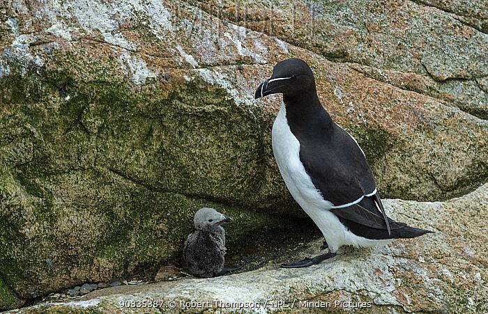 Razorbill (Alca torda) Great Salteee Island, County Wexford, Ireland, JUne.