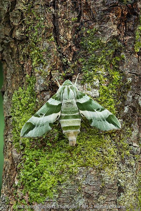 Vega sphinx moth (Proserpinus vega) Arizona, USA. August.