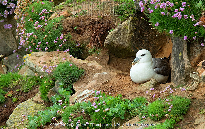 Fulmar (Fulmarus glacialis) at nesting site, Great Saltee Island, County Wexford, Ireland, June.