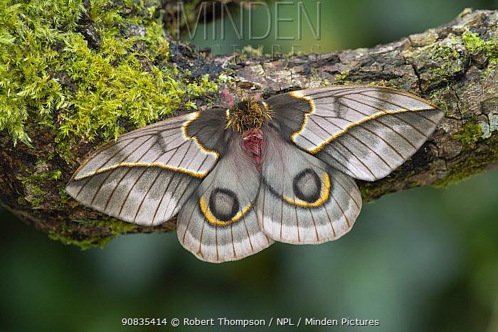 Golden mexican moth (Automeris maeonia) female, Nayarit, Mexico