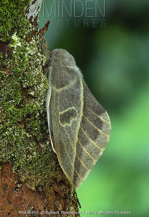 Moth (Leucanella hosmera) on tree trunk, Chiriqui Province, Panama