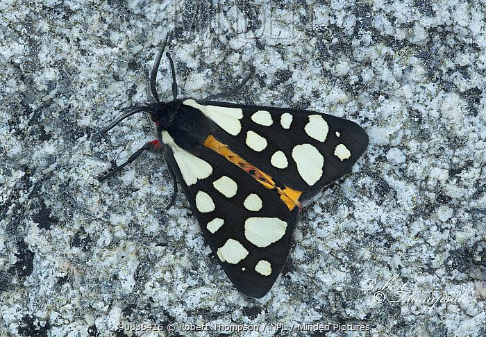 Cream spot tiger moth (Arctia villica) on rock, France, May.