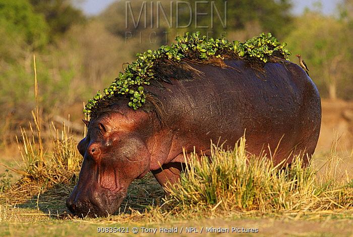 Hippopotamus [Hippopotamus Amphibius]  Water hyacinth still on back after leaving water  Mana Pools NP Zimbabwe Sept 2019