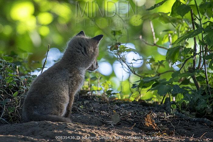 Red fox (Vulpes vulpes) cub sitting watching in woodland, rear view, Switzerland