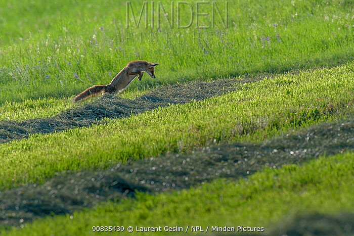 Red fox (Vulpes vulpes) hunting, pouncing on rodent, June, Switzerland. Sequence 1 of 3