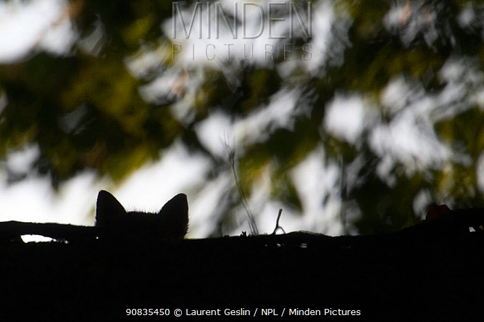 Wild cat (Felis silvestris) silhouette of ears above horizon, Switzerland