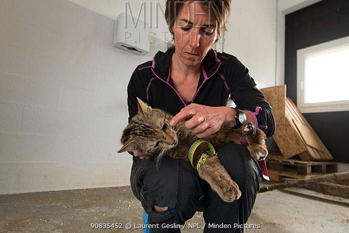 Woman vet specialized in working with wild mammals, treating an injured wild cat (Felis silvestris) that will be released back into the wild, Switzerland 2019