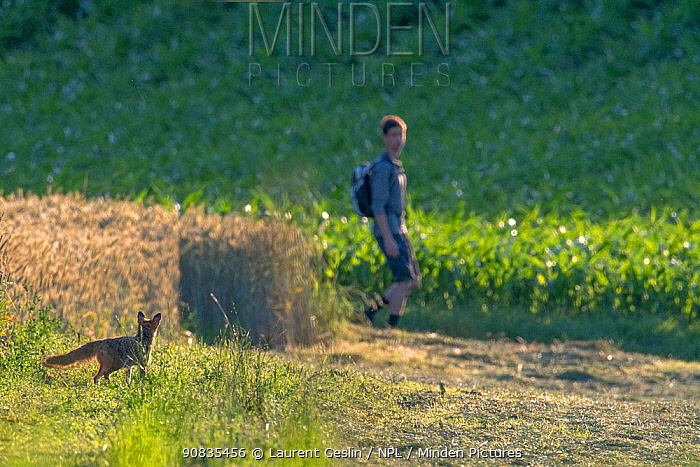 Red fox (Vulpes vulpes) in field with person walking past, summer, Switzerland