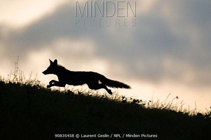 Red fox (Vulpes vulpes) silhouetted, running along horizon, Switzerland
