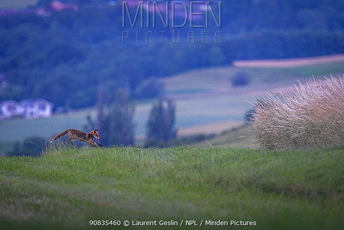 Red fox (Vulpes vulpes) running across field in summer, Switzerland
