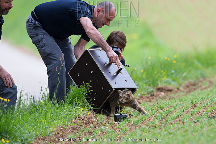 Scientists from KORA releasing a wild cat (Felis sylvestris) after a radio tracking collar has been fitted, Switzerland 2019