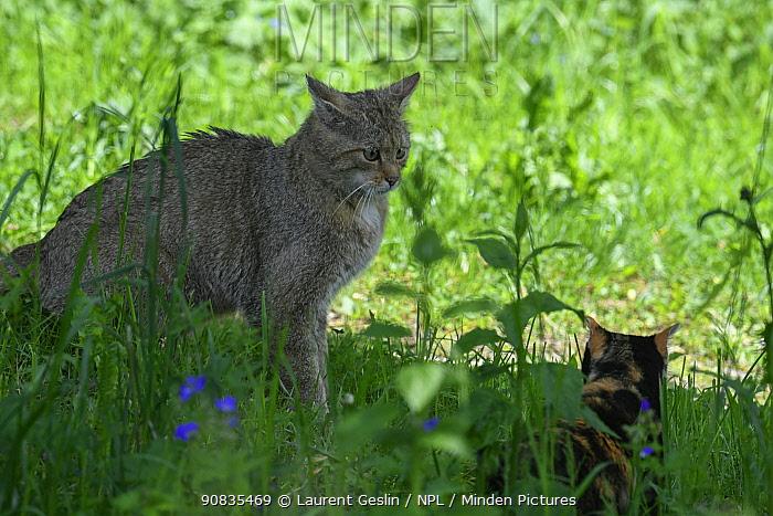Wild cat (Felis silvestris) male approaching domestic cat female, Switzerland