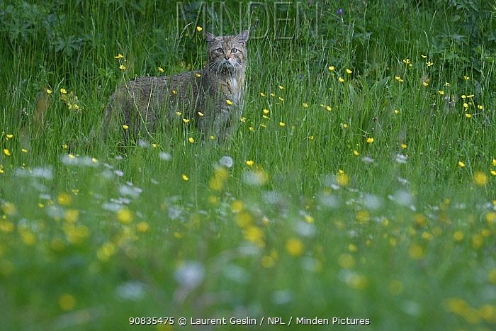 Wild cat (Felis sylvestris) in flower meadow, in spring, Jura mountains Switzerland