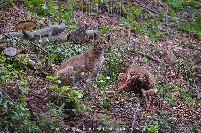 Eurasian lynx (Lynx lynx) with roe deer carcass, Switzerland