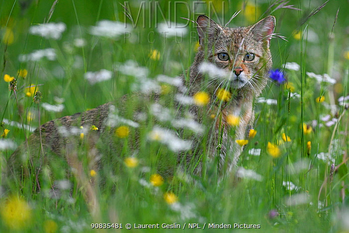 Wild cat (Felis sylvestris) in flower meadow, Switzerland