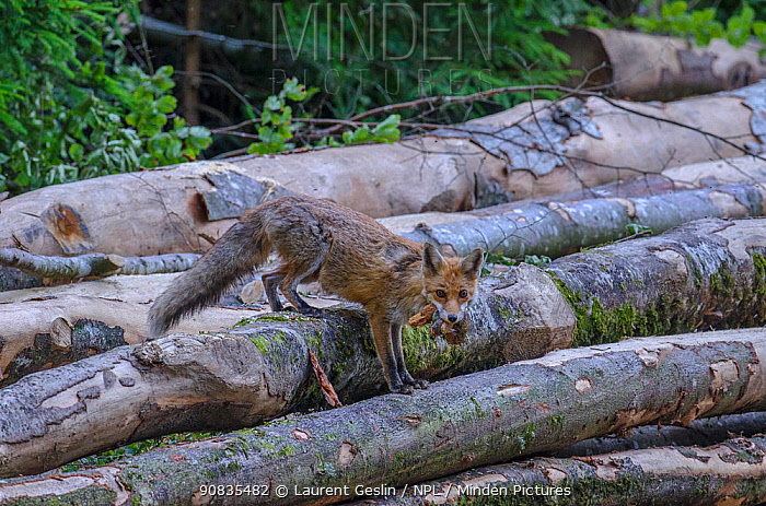 Red fox (Vulpes vulpes) with deer meat in mouth, Switzerland