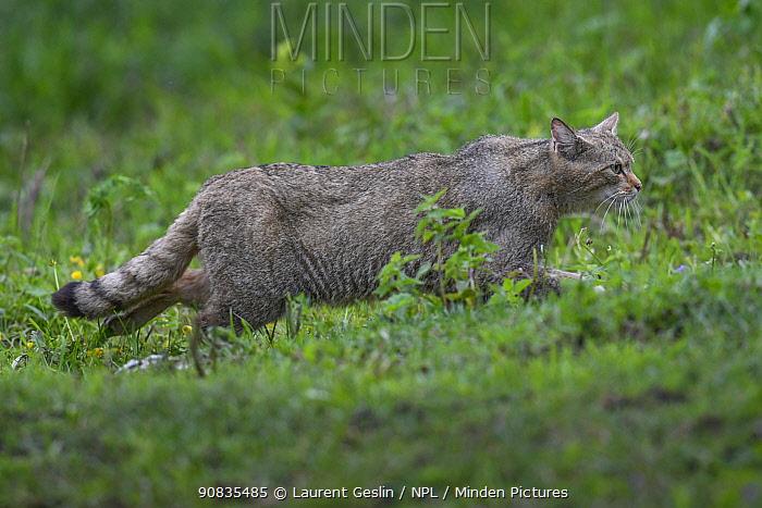 Wild cat (Felis silvestris) Switzerland