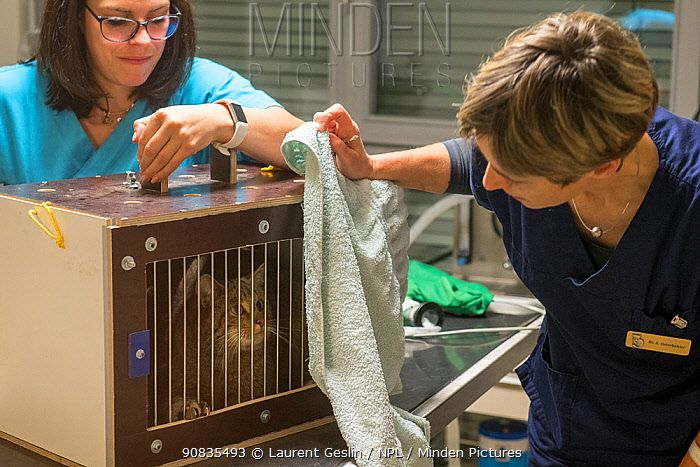 A wild cat (Felis silvestris) is checked and then fitted with a radio collar so that researchers from the university of Bern and KORA, Switzerland, can track its home range. The animal was released back to the same place as it was captured. 2019