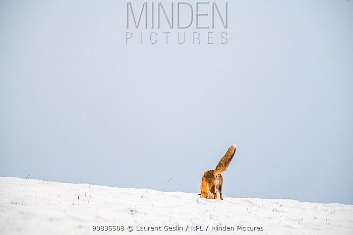 Red fox (Vulpes vulpes) hunting, pouncing on rodent under the snow in winter, Jura, Switzerland