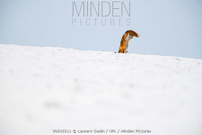Red fox (Vulpes vulpes) hunting, pouncing on rodent under the snow in winter, tail visible above horizon, Jura, Switzerland