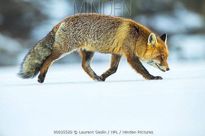 Red fox (Vulpes vulpes) in winter snow , Jura, Switzerland
