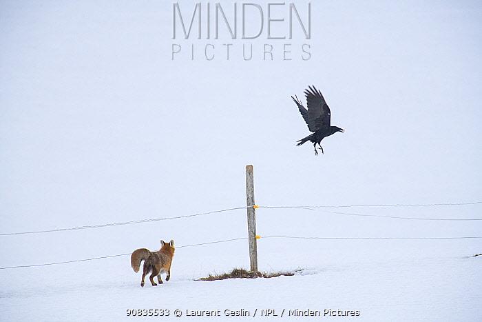 Red fox (Vulpes vulpes) Red fox (Vulpes vulpes) and Crow (Corvus corone) on winter day in snow, Jura, Switzerland