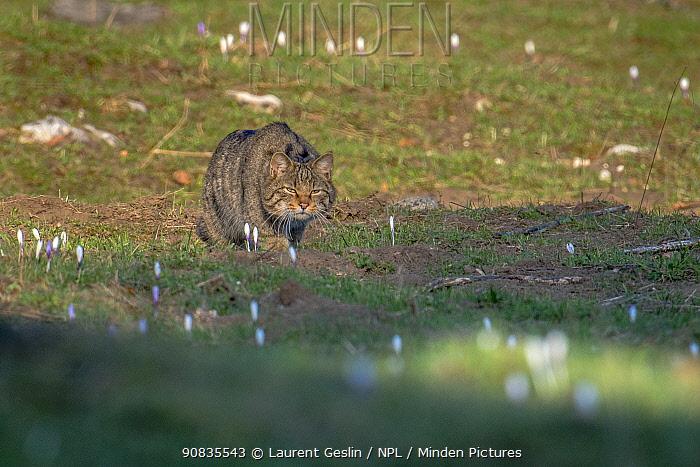Wild cat (Felis silvestris) in spring, Jura mountains Switzerland