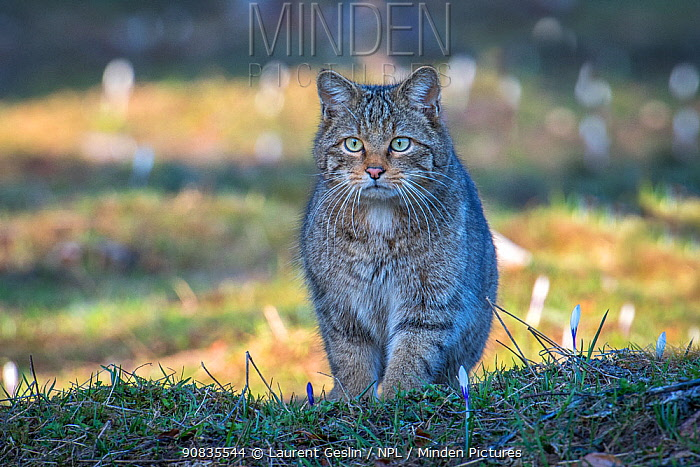 Wild cat (Felis silvestris) Switzerand