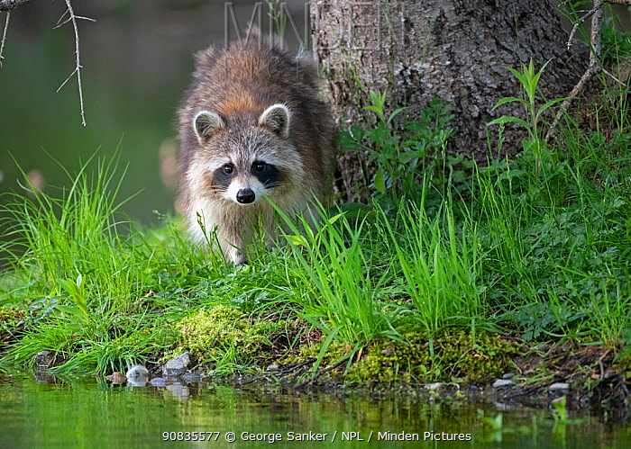 Raccoon (Procyon lotor) at waters edge, Acadia National Park, Maine, USA. June.