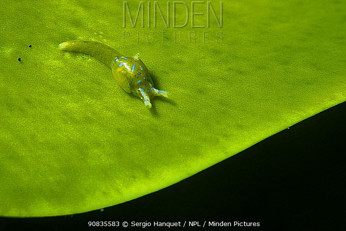 Sea snail (Oxynoe benchijigua) on seaweed (Caulerpa prolifera) Tenerife, Canary Islands.