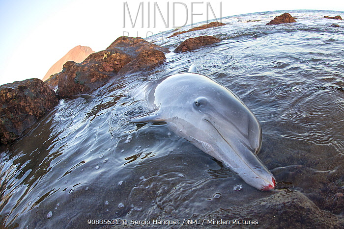 Atlantic spotted dolphin (Stenella frontalis) stranded on beach, Tenerife, Canary Islands.