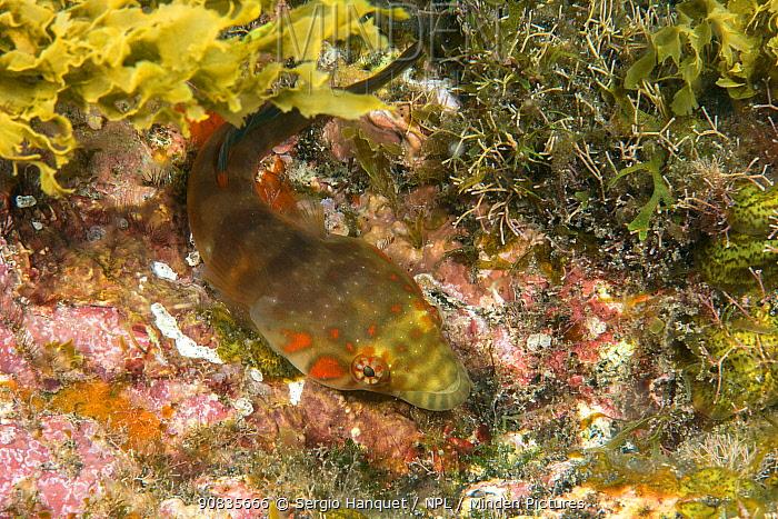 Connemarra clingfish (Lepodogaster candolii) Tenerife, Canary Islands.
