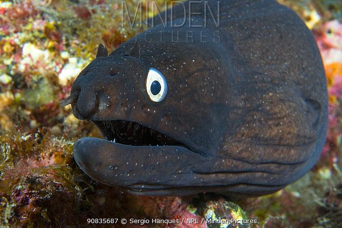 Black moray eel (Muraena augusti) Tenerife, Canary Islands.