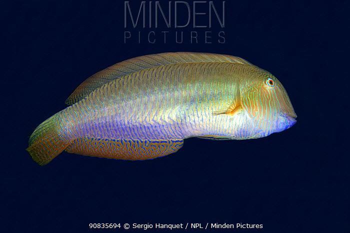 Pearly razorfish (Xyrichthys novacula) Tenerife, Canary Islands.