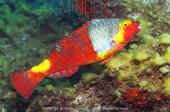 Parrotfish (Sparisoma cretense) female. Tenerife, Canary Islands.
