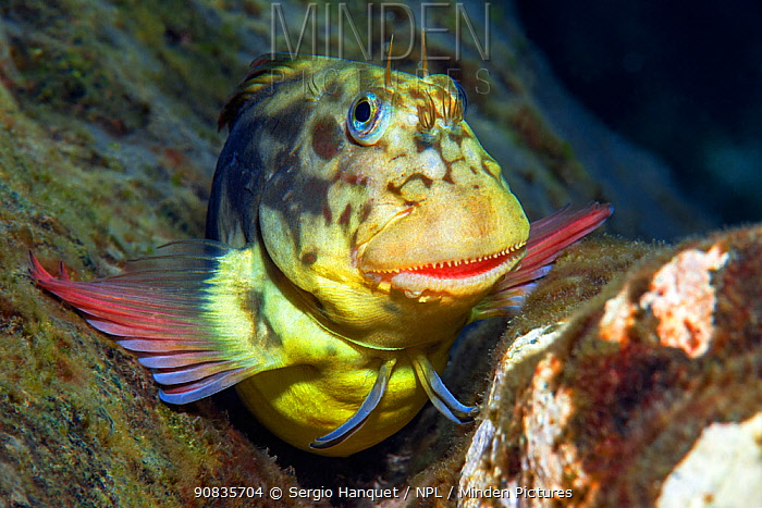 Red-lipped blenny (Ophioblennius atlanticus) portrait, Tenerife, Canary Islands.