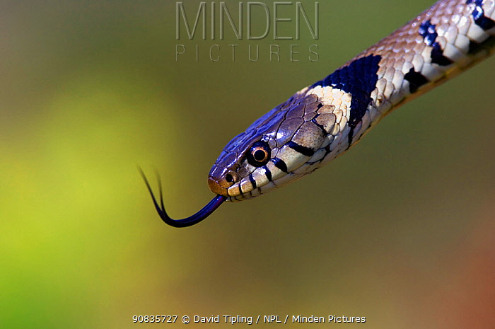 Grass snake (Natrix natrix) with tongue extended, Dorset, England, UK. August.