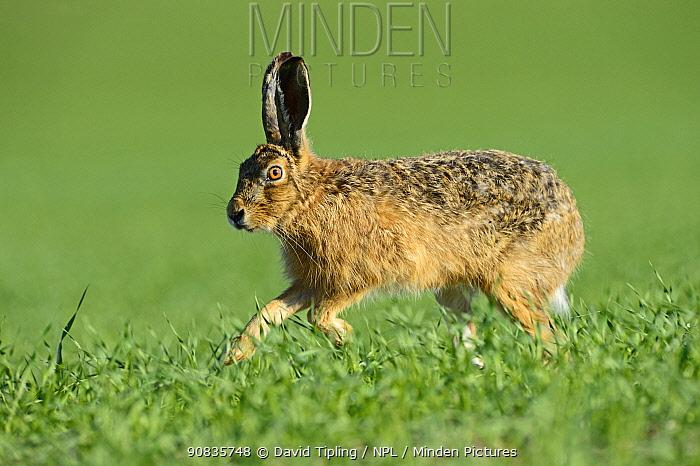 Brown hare (Lepus europaeus) on winter wheat crop, Norfolk, England, UK, May.