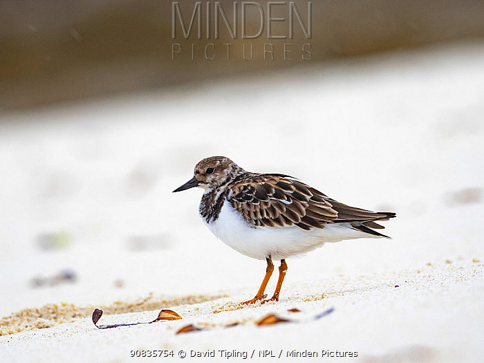Ruddy turnstone (Arenaria interpres) on beach on Wizard Island, Cosmelodo Atoll, Seychelles