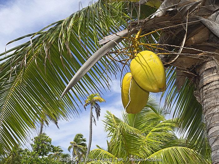 Coconut plantation with Coconut (Cocos nucifera) fruits developing, Astove Atoll, Seychelles